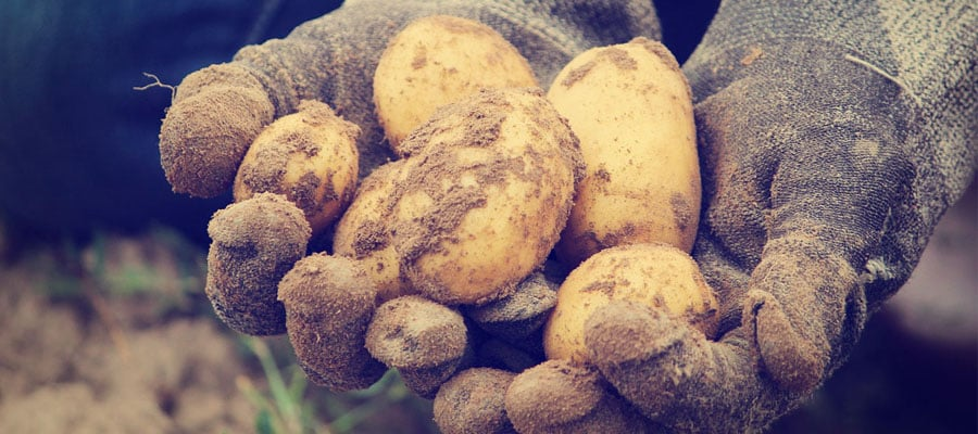 RootsandWingsDistillery-potatoes